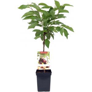 """Kersenboom (prunus avium """"Hedelfinger"""") fruitbomen"""