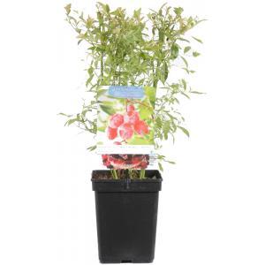 "Bosbes (vaccinium corymbosum ""Pink Lemonade"") fruitplanten"