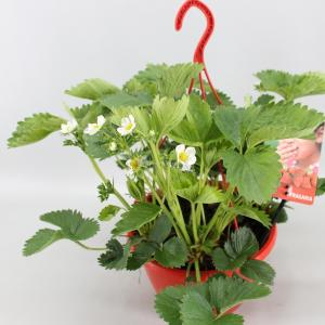 "Aardbei (fragaria x ananassa ""Tenira"") fruitplanten"