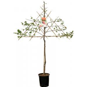 """Appelboom Elstar leivorm (Malus Domestica """"Elstar"""") fruitbomen"""