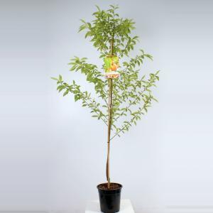 "Perzik (Prunus Persica ""Peregrine"") fruitbomen"