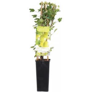"""Groene kruisbes (ribes uva crispa """"Hinnonmäki Grön"""") fruitplanten"""