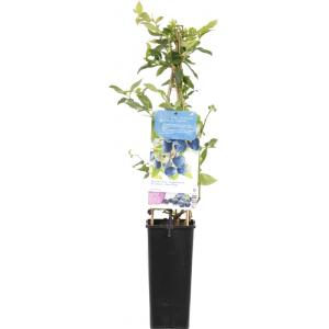 "Bosbes (vaccinium corymbosum ""Bluecrop"") fruitplanten"