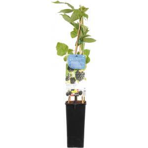 "Braam (rubus fruticosus ""Chester Thornless"") fruitplanten"