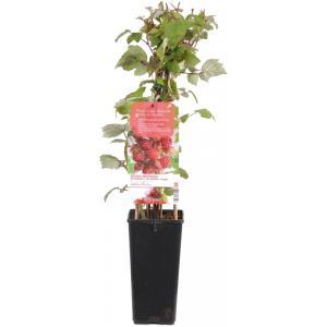 Japanse wijnbes (rubus phoenicolasius) fruitplanten
