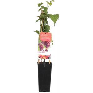 "Taybes (rubus loganobaccus ""Tayberry"") fruitplanten"