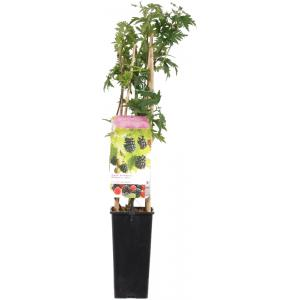 "Braam (rubus fruticosus ""Thornless Evergreen"") fruitplanten"