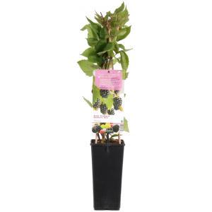 "Braam (rubus fruticosus ""Thornfree"") fruitplanten"