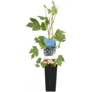"Blauwe druif (vitis vinifera ""Boskoop Glory"") fruitplanten"