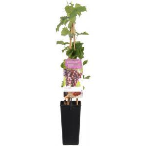 "Blauwe druif (vitis vinifera ""Regent"") fruitplanten"