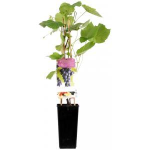 """Blauwe druif (vitis vinifera """"Glenora"""") fruitplanten"""
