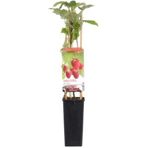 """Zomerframboos (rubus idaeus """"Glen Ample"""") fruitplanten"""