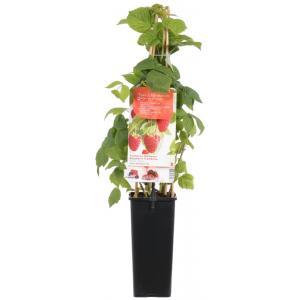"""Herfstframboos (rubus idaeus """"Zefa Herbsternte"""") fruitplanten"""