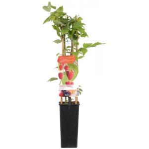 """Herfstframboos (rubus idaeus """"Heritage"""") fruitplanten"""