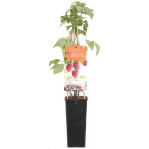 """Zomerframboos (rubus idaeus """"Schonemann"""") fruitplanten"""