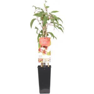 """Kiwibes (vrouwelijk) (actinidia arguta """"Ken's Red"""") fruitplanten"""
