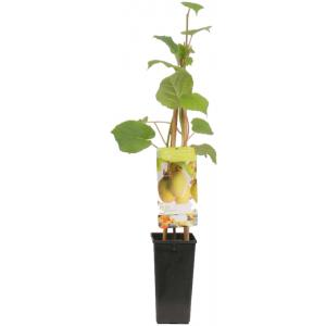 """Kiwi (actinidia deliciosa """"Jenny"""") fruitplanten"""