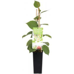 "Kiwi (mannelijk) (actinidia deliciosa ""Atlas"") fruitplanten"