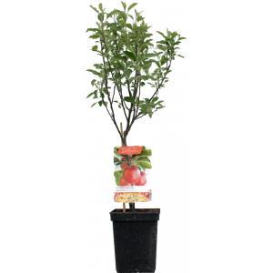 "Appelboom (Malus Domestica ""Braeburn"") fruitbomen"