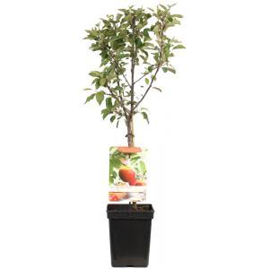 """Appelboom Elstar (Malus Domestica """"Elstar"""") fruitbomen"""