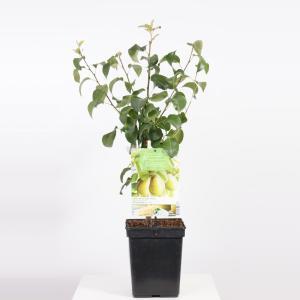 "Perenboom Beurre Hardy (Pyrus Communis ""Beurre Hardy"") fruitbomen"