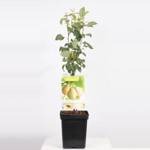 "Perenboom Doyenne du Comice (Pyrus Communis ""Doyenne du Comice"") fruitbomen"