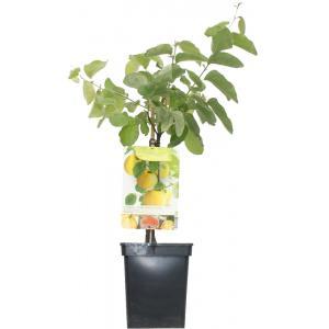 "Kweepeer (cydonia oblonga ""Vranja"") fruitbomen"