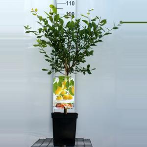 """Pruimenboom (prunus domestica """"Mirabelle de Nancy"""") fruitbomen"""