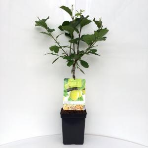 "Pruimenboom (prunus domestica ""Ontario"") fruitbomen"