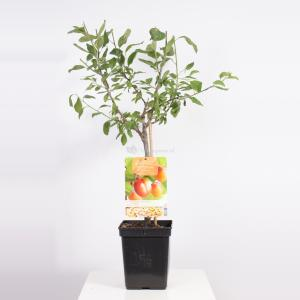 "Pruimenboom (Prunus Domestica ""Victoria"") fruitbomen"