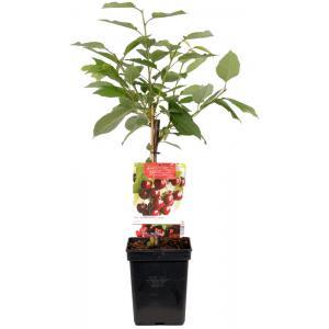 "Kersenboom (prunus avium ""Kordia"") fruitbomen"