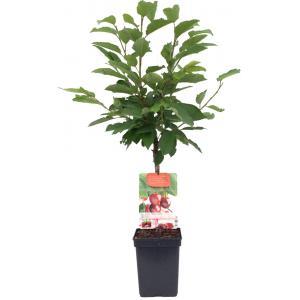 """Kersenboom (prunus avium """"Stella"""") fruitbomen"""
