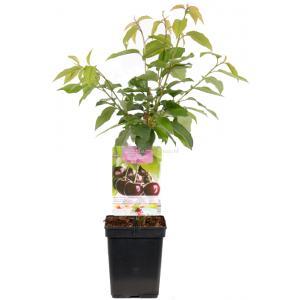 """Kersenboom (prunus avium """"Sunburst"""") fruitbomen"""