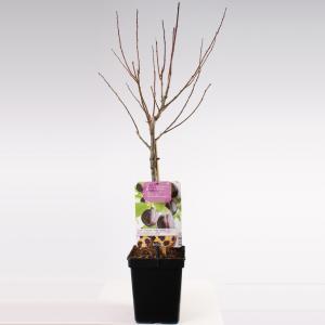 """Pruimenboom (prunus domestica """"Hauszwetsche"""") fruitbomen"""
