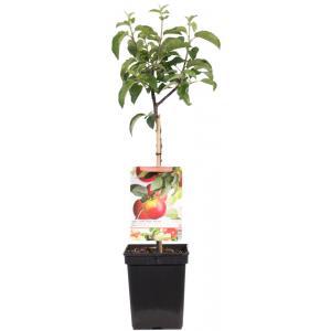 "Appelboom (malus domestica ""Topaz"") fruitbomen"
