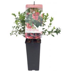 "Bosbes (vaccinium vitis-idaea ""Miss Cherry""®) fruitplanten"