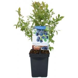 "Bosbes (vaccinium corymbosum ""Sunshine Blue"") fruitplanten"