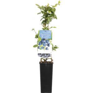 "Bosbes (vaccinium corymbosum ""Jersey"") fruitplanten"