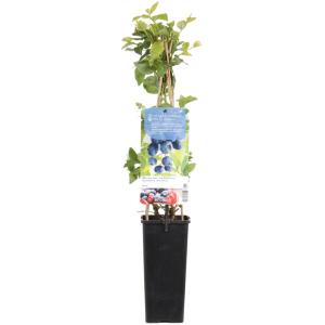 "Bosbes (vaccinium corymbosum ""Duke"") fruitplanten"