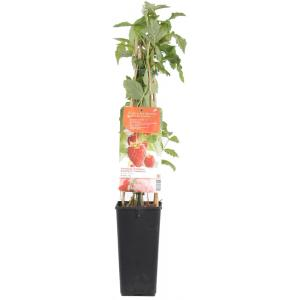 "Herfstframboos (rubus idaeus ""Himbo Top"") fruitplanten"