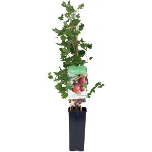 "Rode kruisbes (ribes uva crispa ""Captivator"") fruitplanten"