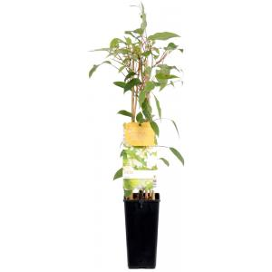 """Kiwibes (actinidia arguta """"Weiki"""") fruitplanten"""