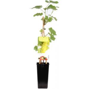 "Witte druif (vitis vinifera ""Solaris"") fruitplanten"