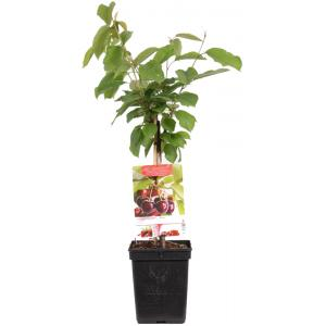 "Kersenboom (prunus avium ""Regina"") fruitbomen"
