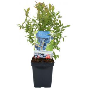 """Bosbes (vaccinium corymbosum """"Hortblue Petite"""") fruitplanten"""