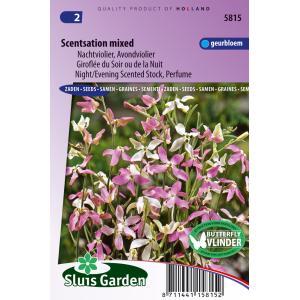 Nachtviolier bloemzaden – Scentsation mixed